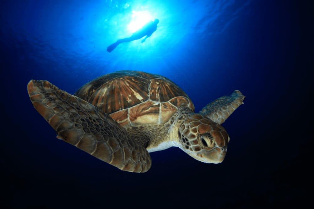 diving tenerife villa mandi sea floor turtles